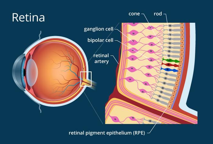 retina diagram: artificial photoreceptors