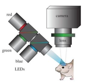 Neural Imaging with Visible Light: Optical Recording of Intrinsic Signal