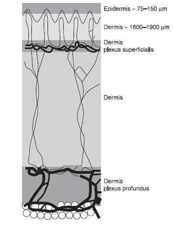 Tissue layer depths in um