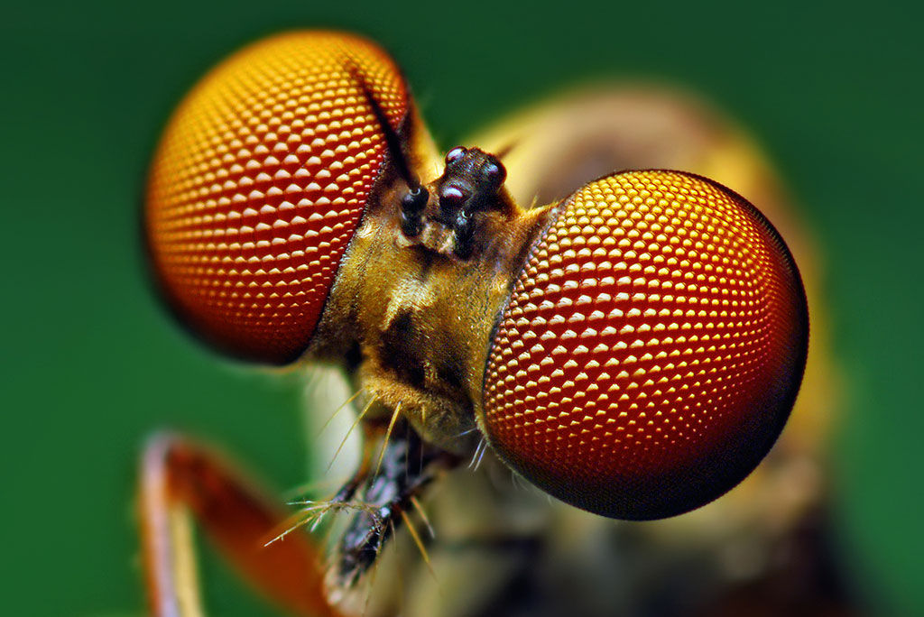 compound eyes on insect